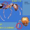 ヒアリ対策、見分け方そろそろ本気で…横浜港で700匹以上発見!