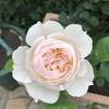 2番花のジェントルハーマイオニーが、美しい。 黒星病が・・