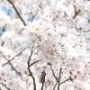 桜。肩に降りる花びら。