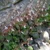 復活!日陰のユキノシタ