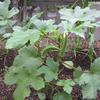 【家庭菜園】今日の収穫(オクラ7回目、9、10本目)