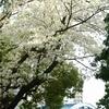 JR根岸線 桜川橋の桜