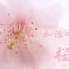 加治川の桜2