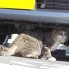 猫バンバンの有効性について。~猫は車のエンジンルームに入り込むことがある!