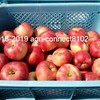 りんごの収穫が始まりました!(とっても甘い夏のりんご)