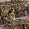 新年初撮り その他の鳥達(ジョウビタキ、ホオジロ、アオジ)