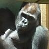 【ゴリラ】京都市動物園のモモタロウ一家を撮影(2020/06/23)【動画あり】