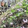 春の妖精 カタクリ満開 武蔵村山市