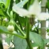 浜ちゃんの作物の花と結実(8)  シシトウの花と結実