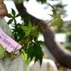 【金沢・兼六園】5月7日は紅葉の苗を頂ける開園記念日!