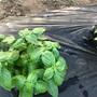 市民菜園で野菜づくりに挑戦!20 〜暑さに強いのは