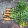 【家庭菜園】残りの人参をまとめて、収穫しました(3回目)