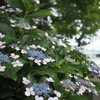 梅雨のピクニック:リベンジは水元公園の菖蒲まつり