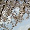 桜の下で本をめくる
