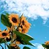 地に咲く太陽 独鈷山ひまわり畑と鹿教湯ガイドマップ