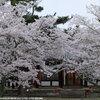 法隆寺に桜を見に行きました その最後