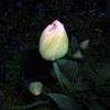 チューリップが今にも咲きそうなんです