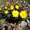 隣の 春告げ花