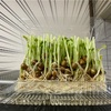 豆子の爆発的な成長