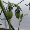 ミニトマト(トマトベリー、こいまる)の生育状況
