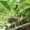 ハトのヒナは10~11日目で成鳥の面影が見え始める。ハトにも性格がある。名前を付けちゃだめだ。名前を付けちゃだめだ。