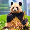 アドベンチャーワールドで生まれたパンダの赤ちゃん、最新の状況は?