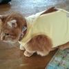 猫ハゲる ③ ~マロン、ピンチ( ;∀;)~ 術後服から皮膚保護服に