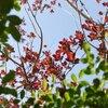 スモークツリーの赤い葉