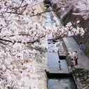 神戸サクラ通信その13「散りゆく満開の妙法寺川の桜」
