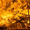 秋と言えば紅葉!熊本県阿蘇市の下城の大イチョウを見に行った話