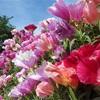 【ゴテチャ】知名度低くても花は一級品!名前の由来や花言葉は?