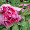 江戸っ子は、鉢植えの花を身近に置くことがささやかな楽しみに