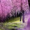 京都・鳥羽 - 城南宮のしだれ梅