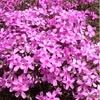 大空町東藻琴の芝桜公園に芝桜を見に行ってきましたが見頃は・・・