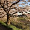 桜って。其の三。~桜回廊2017~