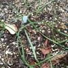 球根の芽吹き
