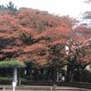 鹿沼公園の紅葉報告 (11月10日現在)