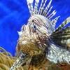 トゲと毒で身を守るミノカサゴ!その特徴と毒の強さは!