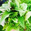 Mana's scented garden