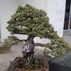 百歳近くの松の盆栽