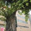 街路樹の名前…… / 「源流」