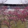 京都気象台から梅の開花宣言がありました
