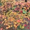 赤、黄色、茶色、オレンジ... 多彩な色の紅葉は日本の財産。