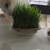 夢中に猫草をたべるライチ