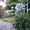 2009年6月15日のお庭 アガパンサスが綺麗に咲きました。