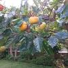 この木は何の木?すだちか柚子か、かぼすかみかんか?