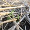 小麦のオーナー制 発芽