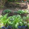 【家庭菜園】小松菜の間引きをしました。