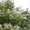 うちの庭木のデメリット