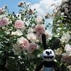 春のお散歩:青空と色とりどりなバラの花